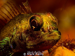 Triple fin blenny by Mark Reilly